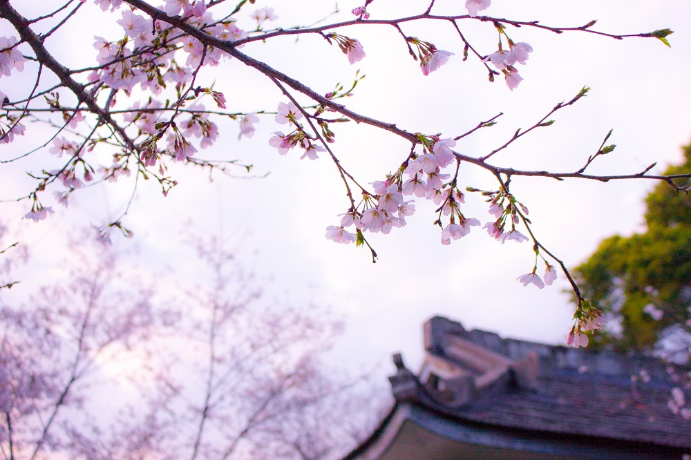 blooming cherry tree in front of a house, symbolizing the power to release the past